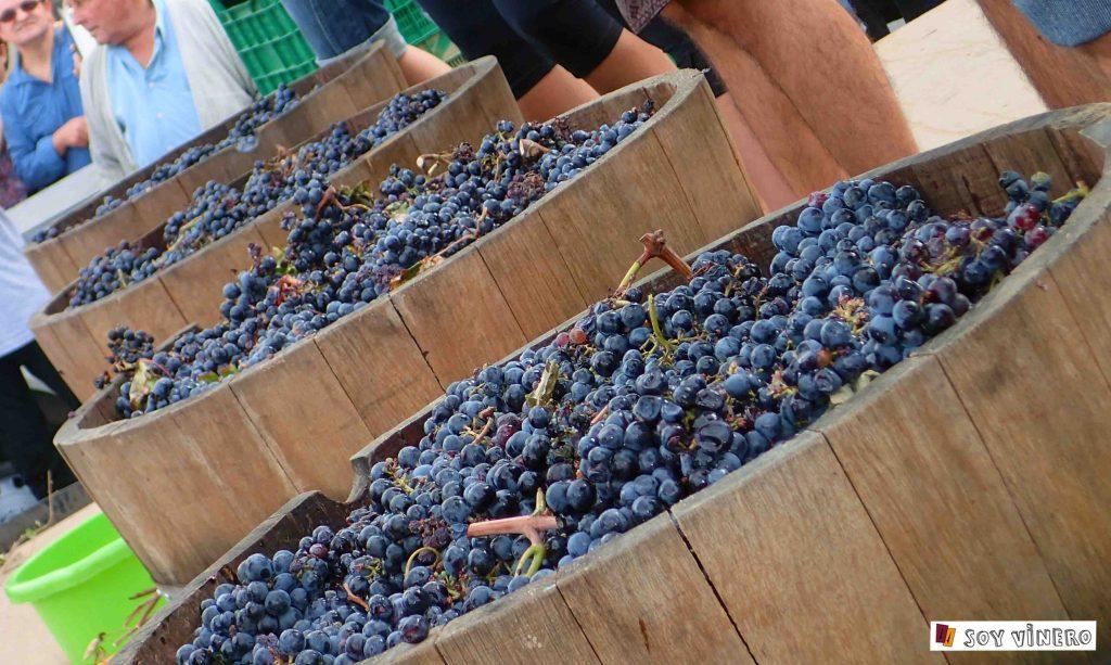 Preparados para la pisada de la uva en Villena.